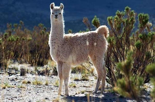 Llama, fauna típica de Purmamarca